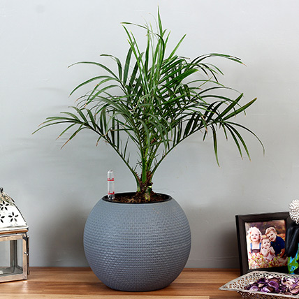 Areca Plam Plant in Blue Plastic Pot: Best Outdoor Plants in Dubai