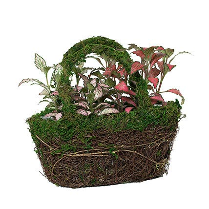 Designer Hand Basket Fittonia Plant: