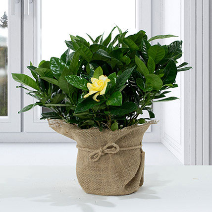 Gardenia Jasminoides with Jute Wrapped Pot: Indoor Plants in Dubai