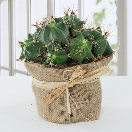 Lovely Cactus in Jute Wrapped Pot: