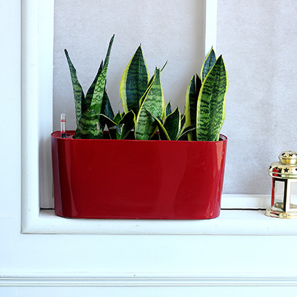 Sansevieria Plant in Red Plastic Pot: Best Outdoor Plants in Dubai