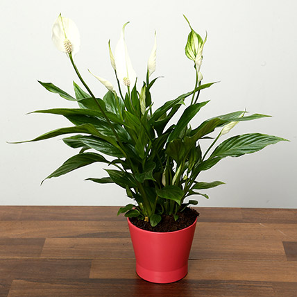 Spathiphyllum Plant In Pink Ceramic Pot: Indoor Plants in Dubai