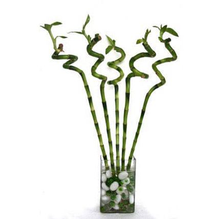 Spiral Bamboo: Plants for Mothers Day