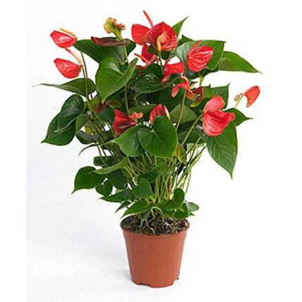 Red Anthurium Plant: Mothers Day Plants Delivery