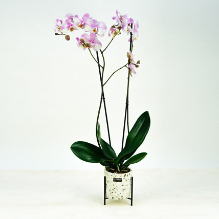 Pink Phalaenopsis Orchid Plant: Orchid Flowers in Dubai