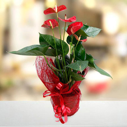 Fresh Flourish: Anthuriums Flower Dubai