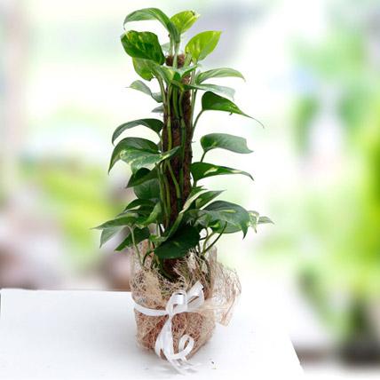 Utmost Perfection: Money Plants