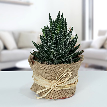 Howarthia Potted Plant In Jute: Succulent Plants