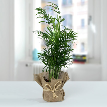 Chamaedorea In Jute Wrapped Plant: Plants for Birthday Gift