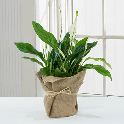 Spathiphyllum Jute Wrapped Potted Plant: