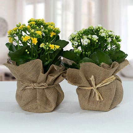 Jute Wrapped Dual Potted Plants: Outdoor Plants in Dubai