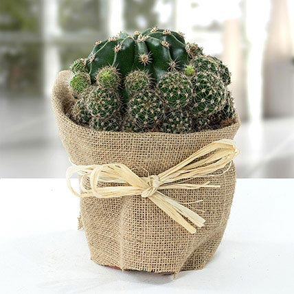 Elegant Cactus with Jute Wrapped Pot: Outdoor Plants to Ajman