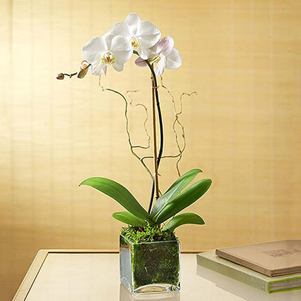 White Orchid Plant In Glass Vase: Housewarming Gift Ideas