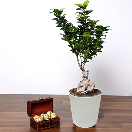 Ficus Bonsai Plant In Ceramic Pot and Chocolates: Indoor Bonsai Tree