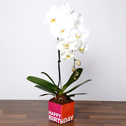 White Phalaenopsis Plant In Glass Vase: Birthday Gifts for Her