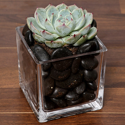 Green Echeveria Plant In Square Vase: Gift Ideas for Boss