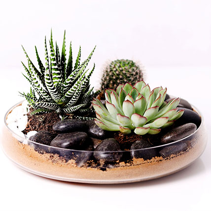 Combo of 3 Plants In Clear Glass Platter: Indoor Plants in Dubai
