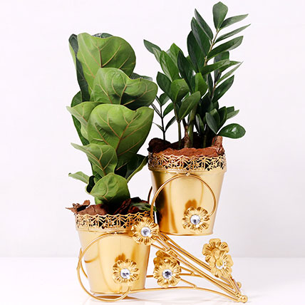 Ficus and Zamia Plant in Dual Golden Pot: