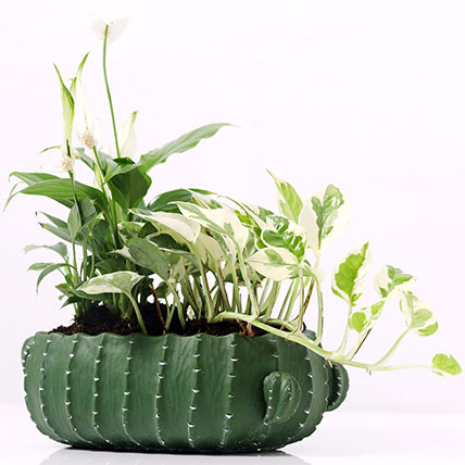 Spathiphyllum and Scindapsus In Designer Pot: