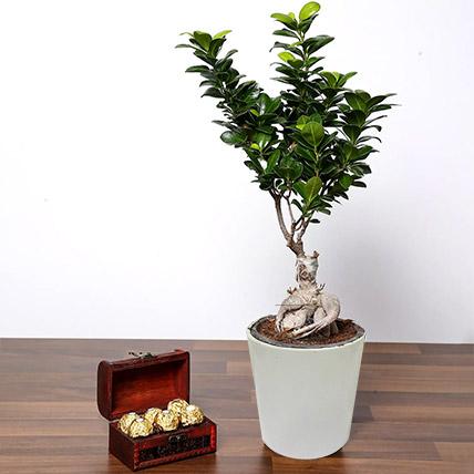 Ficus Bonsai Plant In Ceramic Pot and Chocolates: Indoor Bonsai Tree