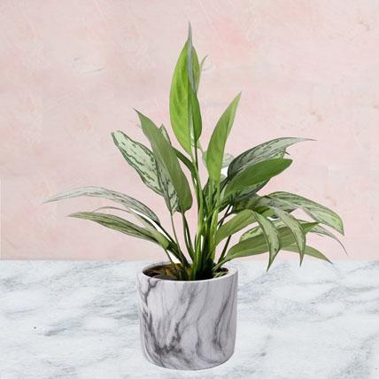 Aglaonema Plant in Ceramic Pot: Air Purifying Indoor Plants