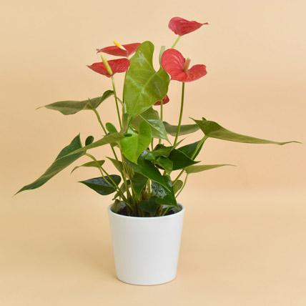Red Anthurium In Ceramic Pot: