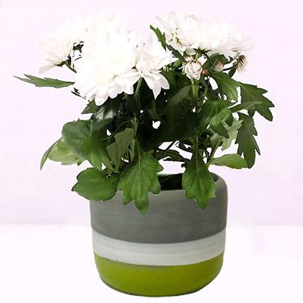 White Chrysanthemum Plant in Ceramic Pot: Indoor Plants in Dubai
