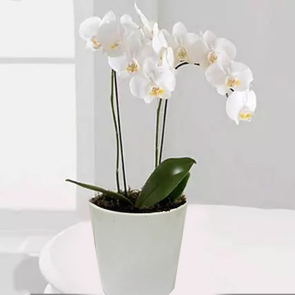 White Phalaenopsis Orchid Plant: Outdoor Plants in Dubai
