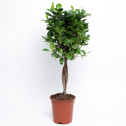 Ficus Microcarpa Moclame In Brown Plastic Pot: Outdoor Plants
