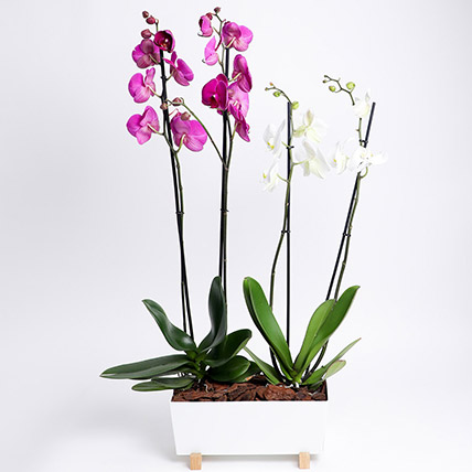 Phalaenopsis In White Metal Pot: Plant Combos