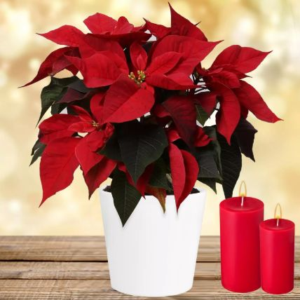 Special Poinsettia Plant: Candles