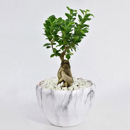 Bonsai Plant In Ceramic Pot: Indoor Plants