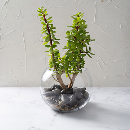 Jade Plant In Glass Bowl: Bonsai Plants