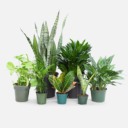 Beautiful Set Of 7 Indoor Plants: Air Purifying Plants
