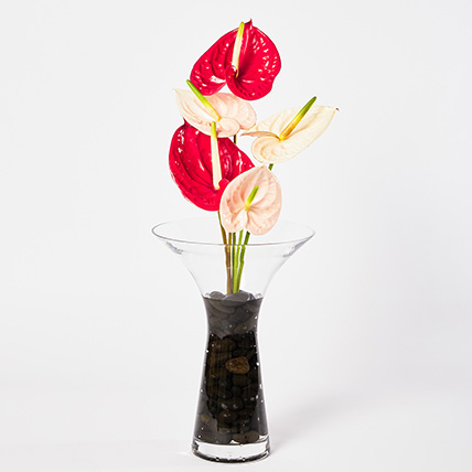 Mixed Anthuriums In Stones Filled Vase: Anthuriums