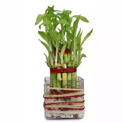 Good Luck Bamboo: Lucky Plants