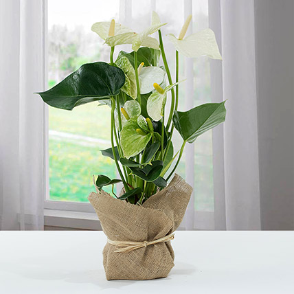 White Anthurium Jute Wrapped Potted Plant: Anthuriums Flower Dubai