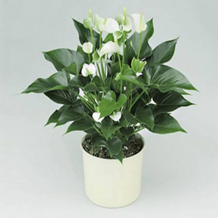 White Anthurium Plant: Birthday Gifts for Brother