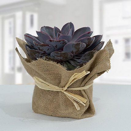 Purple Echeveria Jute Wrapped Plant: