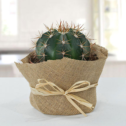 Amazing Cactus With Jute Wrapped Pot: