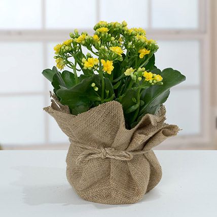 Jute Wrapped Yellow Kalanchoe Plant: