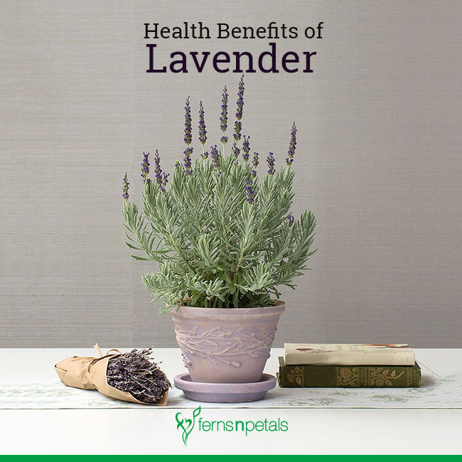 What are the Health Benefits of Lavender?