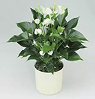 Get Indoor Plants Online
