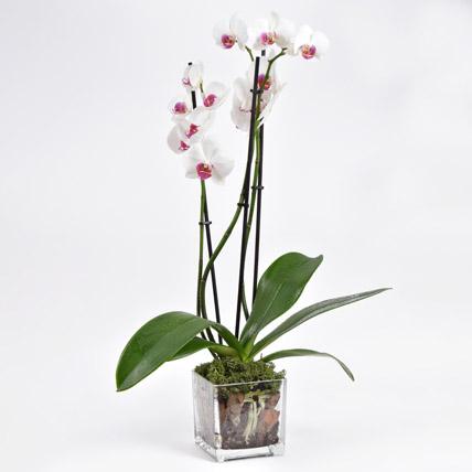 Pink Phalaenopsis Orchid Plant