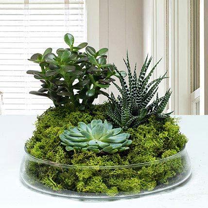 dish-garden plants uae